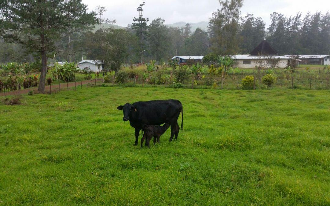 Behandelen koeien en geboorte kalfjes