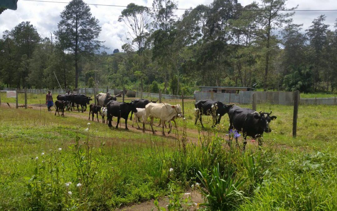 De melkstal in gebruik genomen